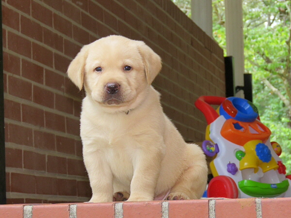 Cricket's Puppies – 5 Weeks Old
