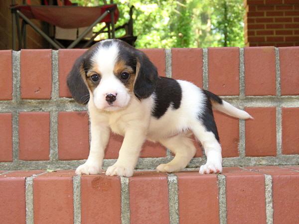 Annie's Puppies – 5 Weeks Old