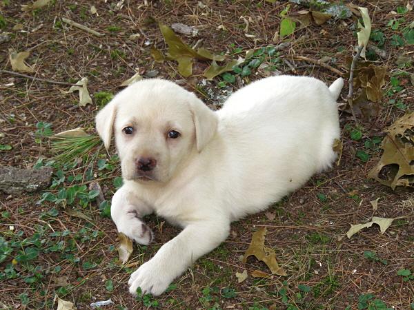 Dakota's Puppies – 7 Weeks Old