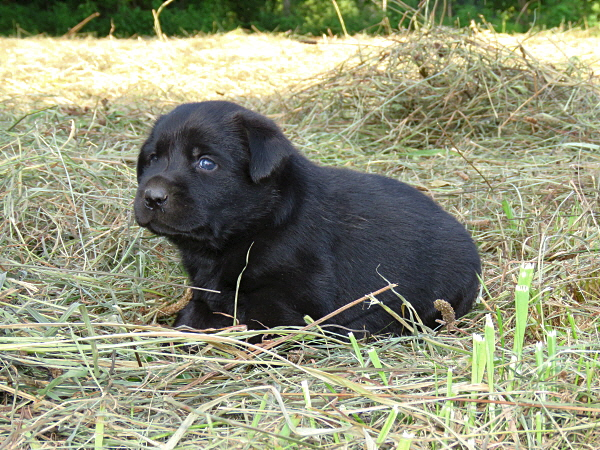 Assata's Puppies – 3 Weeks Old