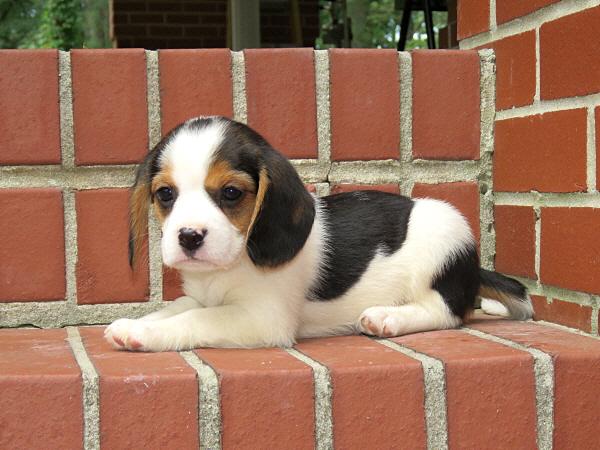 Annie's Puppies – 7 Weeks Old
