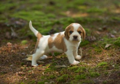 Happy Hill Pups – Beaglier, Cavachon, Coton de Tulear and