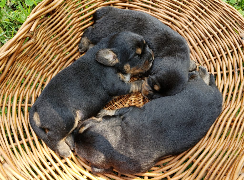 Bessy's puppies ~ 2 weeks old